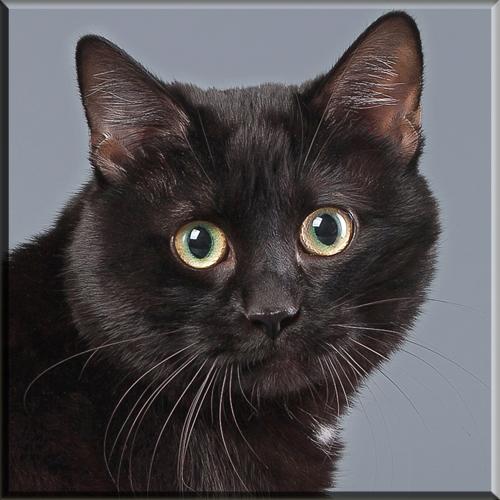 Kurilian bobtail cats and kittens for adoption by pedigree cat breeders
