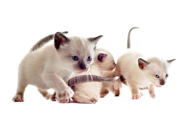 thai kittens near me